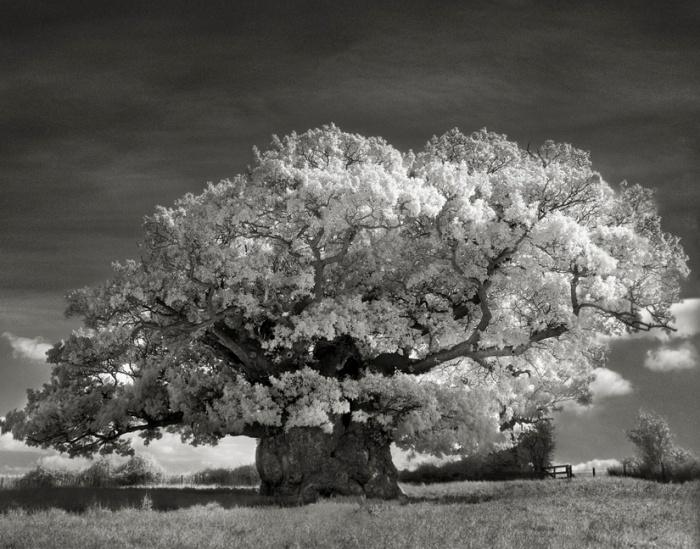 Bowthorpe-Oak-copy